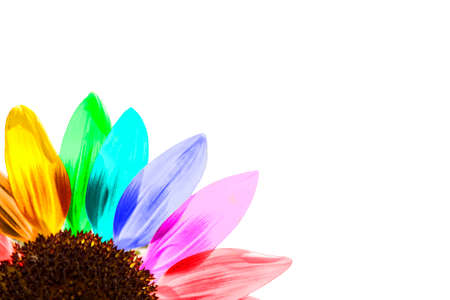 Close up of a rainbow colored sunflower isolated on white Standard-Bild