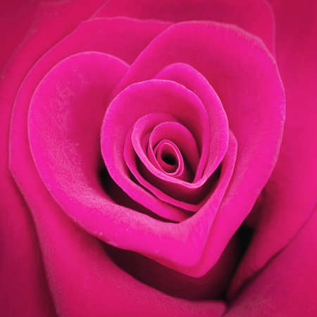 pink heart: Pink heart shaped rose Stock Photo