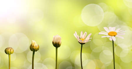 transform: Daisies on green nature background, stages of growth