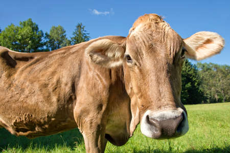 Close up of a cow in a green meadow photo