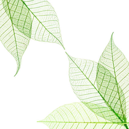 leaf close up: Transparent leaves composition  isolated on white background
