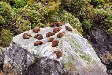 colony: Colony of sea lions, Milford Sound, New Zealand