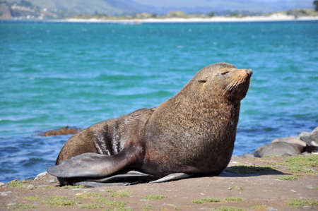 Close up of a fur seal, Otago peninsula, New Zealand photo
