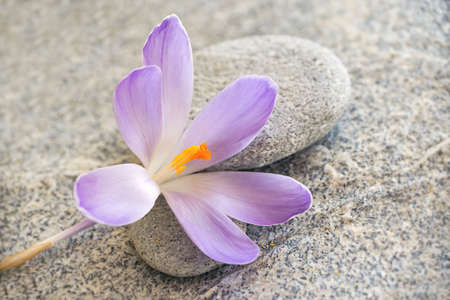 Gray stone and pebble zen background with blue crocus flower photo