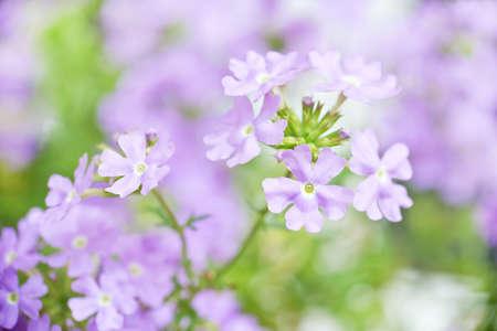 jardines con flores: Primer plano de una flor de la verbena azul