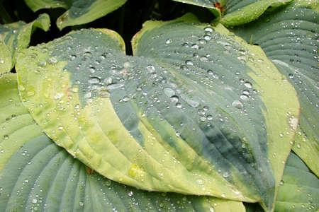 hosta: Close up of an hosta leaf with raindrops