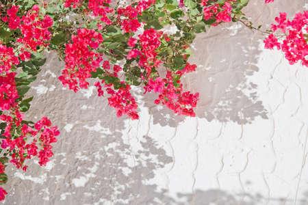 bougainvillea flowers: Pink bougainvillea, white wall
