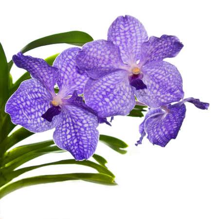 vanda: Violet orchid Vanda isolated on white background Stock Photo