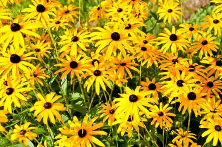 coneflowers: Yellow rudbeckias (black eyed susan) flowers Stock Photo