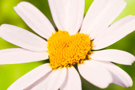 Close up on a daisy in the shape of a heart photo