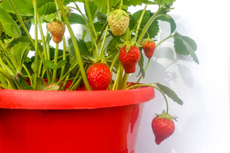 strawberry plant: Red pot of strawberry plant on white background Stock Photo
