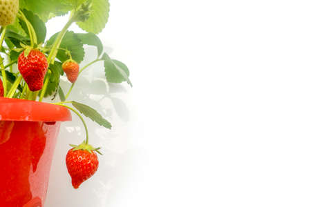 plant in pot: Red pot of strawberry plant on white background Stock Photo