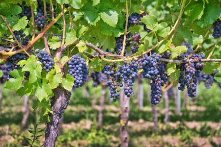 tasting: Close up on red black grapes in a vineyard