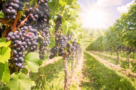 Close up on black red grapes in a vineyard with sunshine