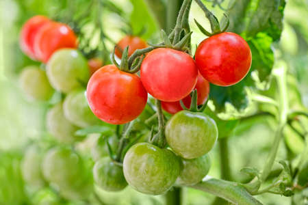 close up food: Close up of cherry tomatoes growing in a vegetable garden Stock Photo