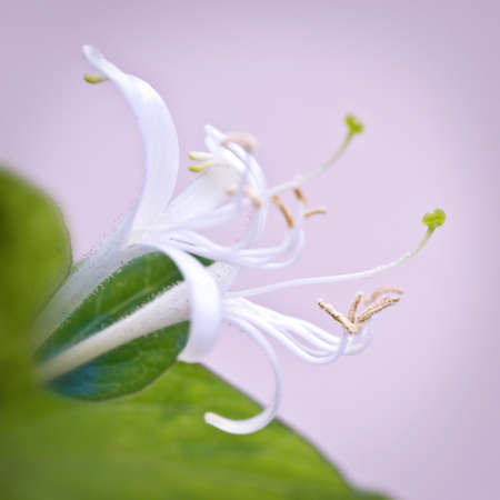 honeysuckle: Lonicera, honeysuckle flower macro