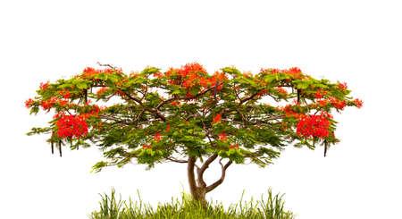 flamboyant: Royal Poinciana tree (Delonix Regia) isolated on white background Stock Photo