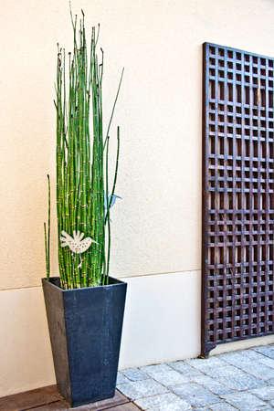 horsetail: Japanese horsetail pot on a modern terrace