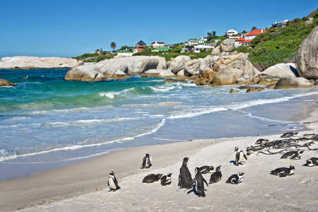 penguin colony: African penguins, Boulders national Park, South Africa