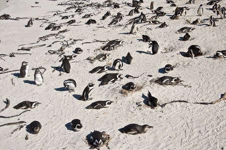 boulders: African penguins, Boulders national Park, South Africa