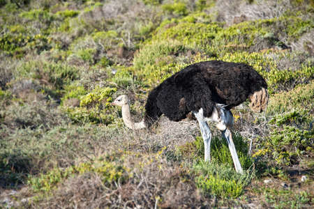 cape of good hope: Ostrich, Cape of Good Hope, South Africa Stock Photo