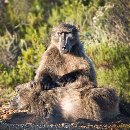 cape of good hope: Baboons, Cape of Good Hope, South Africa Stock Photo
