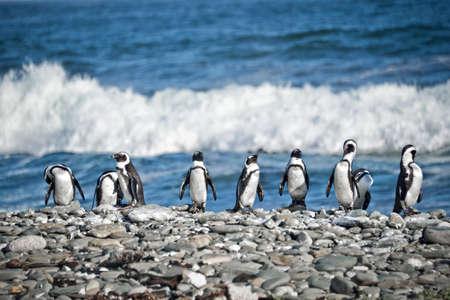 aligned: Penguins aligned, South Africa
