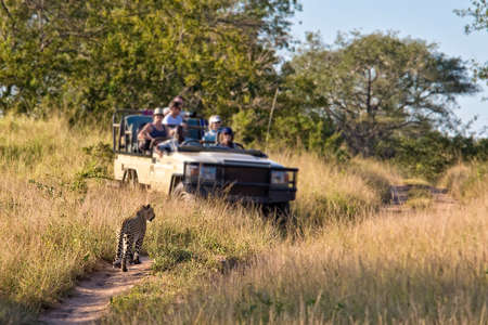travellers: Tourists observing a female leopard, South Africa