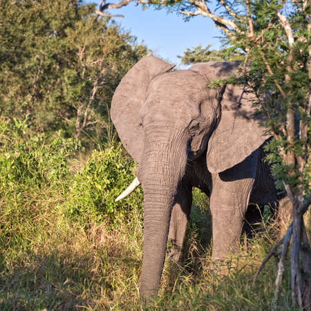 game reserve: African Elephant, South Africa