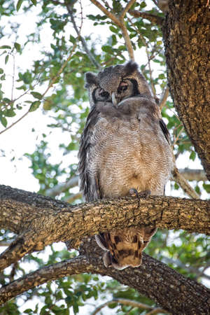 south african birds: Owl, South Africa