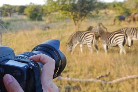 animales safari: Fotografiar la vida silvestre, Sudáfrica Foto de archivo