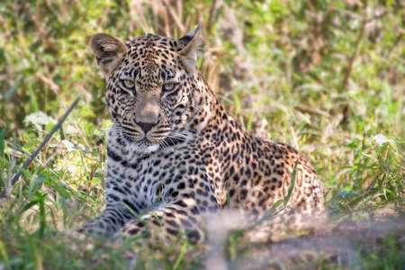 south africa: Young male leopard, South Africa Stock Photo