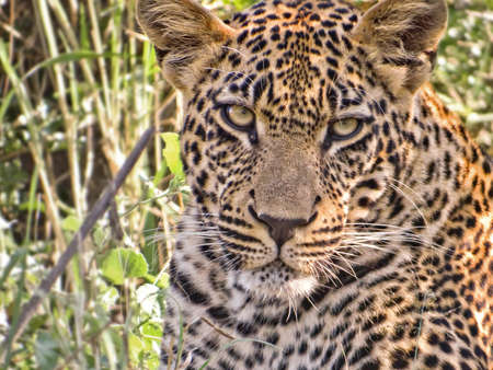 leopard head: Young male leopard head, South Africa Stock Photo