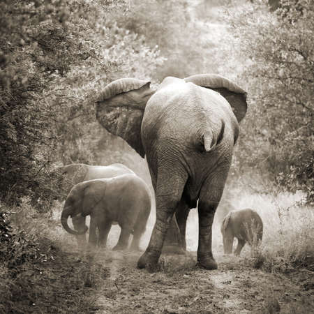 south africa: Elephants, vintage style, SOuth Africa Stock Photo