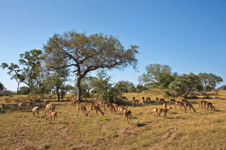south africa: Impalas, South Africa