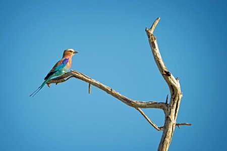 south african birds: Bee eater bird, South Africa Stock Photo