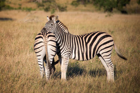 game reserve: Zebras, South Africa