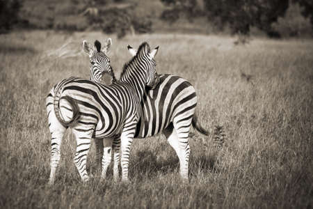 tender tenderness: Two zebras black and white, South Africa