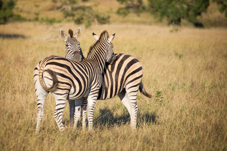 safaris: Two zebras, South Africa