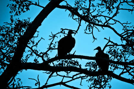 tree silhouettes: Silhouettes of vultures in a tree at night, South Africa Stock Photo