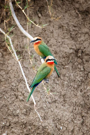 zambia: White fronted bee eaters, Zambia