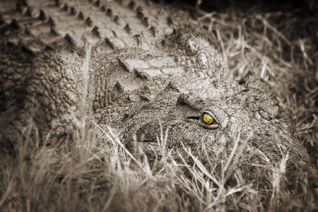 scaring: Crocodile close-up, black ans white