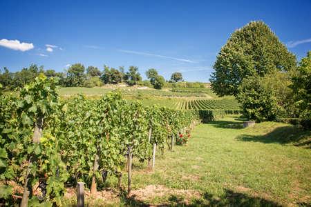 saint emilion: Vineyard landscape of Saint Emilion, Bordeaux, France