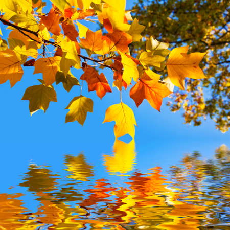 fall leaf: Autumnal yellow maple leaves, blue sky background