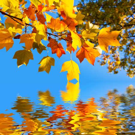 cielo azul: Otoñales hojas de arce de color amarillo, cielo azul de fondo
