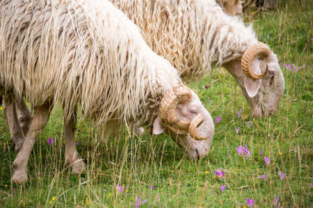 pyrenees: Sheep of the Pyrenees close up, France Stock Photo