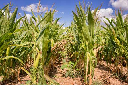 champ de mais: Champ de maïs prêt pour la récolte fermer