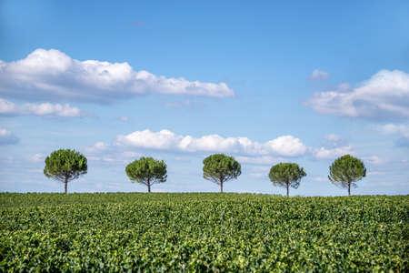 sencillez: Fila de cinco árboles en un campo