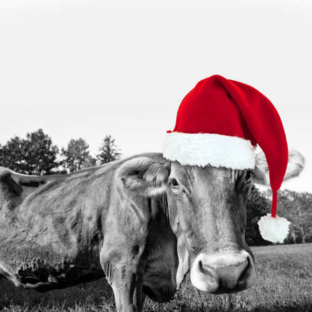 funny animals: Red Christmas hat on a black and white cow, fun xmas greeting card