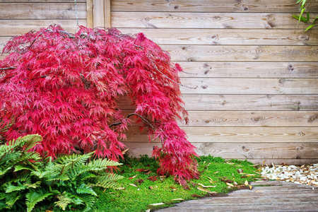 Red japanese maple tree against a wooden wall in a small garden
